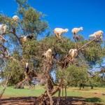 Koze u Maroku na argan drvetu