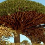 """Drvo zmajeve krvi"" na ostrvu Sokotra"