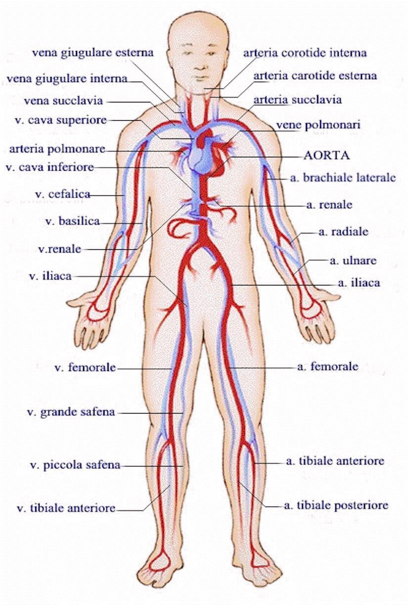 kardiovaskularni-sistem