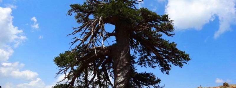 najstarije-drvo-u-evropi-cover
