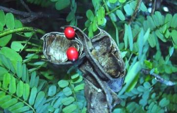 kobne-biljke-rakovo-oko